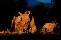 White Rhinoceros Ceratotherium simum  Endangered species  Near Threatened   A mother and calf lay down beside each other  Rhino poaching has been ramp...