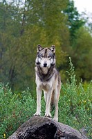 Grey Wolf Canis lupus Indiana, USA.