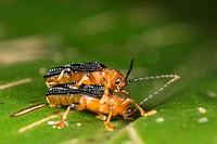 Beetles mating. Image taken at Kampung Satau, Singai, Sarawak, Malaysia.