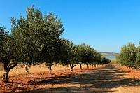 An olive grove on the shore of Vransko jezero Lake of Vrana near Pakostane, Croatia