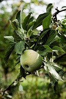 detail of apple tree with ripe fruit and leaves Rondeño Malaus communis