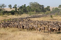 migration of White-bearded Wildebeest Connochaetes taurinus, Masai Mara, Kenya