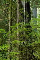 Old growth coast redwood forest, Jedediah Smith Redwoods State Park, Crescent City, California