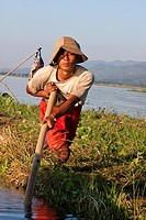 Myanmar, Burma  Inle Lake, Shan State  Burmese Man Using Long Pole to Relocate a Floating Island for Agricultural Purposes  These floating islands of ...