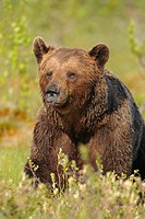 brown bear on a bog North East Finland