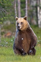 Portrait Old brown bear, Finland