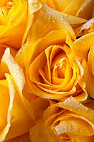 Yellow roses with dew