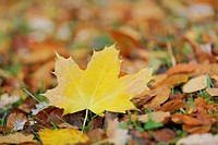 A fallen yellow maple leaf in foliage