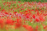 Poppies and wildflowers in a field