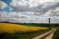 Yellow fields along country road, Dusseldorf, Nordrhein_Westfalen, Germany