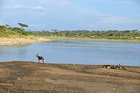 African wild dog at Lake Masek, Serengeti, Tanzania
