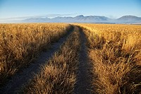 Tracks through a wheat field with mountains in the background