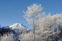 Mt. Fuji and frost_covered trees