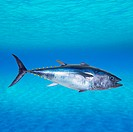 Bluefin tuna Thunnus thynnus swimming underwater photo mount