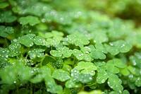 Frech green