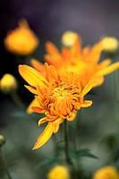 chrysanthemum in autumn garden