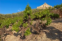 Montilla, vineyards, Montilla-Moriles area, Cordoba, Andalusia, Spain