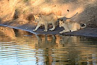 Africa, Zimbabwe, lion, animal, leo, wildlife, safari, water, reflection