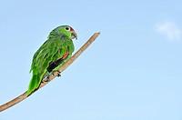 Parrot, Bocas del Toro, Isla Colon, Panama, Central America, bird