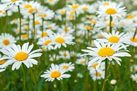 white marguerite flowers