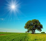 single tree in summer field