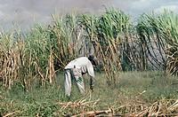 Saccharum officinarum, Sugar cane, Green subject.