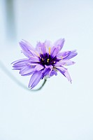 Catananche caerulea, Cupids dart, Blue subject, Blue background.
