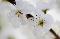 Prunus spinosa, Blackthorn, Sloe, White subject.
