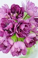 Tulipa cultivar, Tulip, Purple subject.
