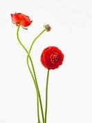 Ranunculus asiaticus ´Elegance Red´, Ranunculus, Persian ranunculus, Red subject, White background.