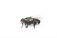 Housefly against white background