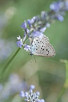 Lycaenidae butterfly on lavender flowers