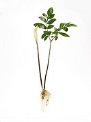 Konjak Plant With Root and Leaves
