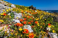 Wildflowers, Postberg Trail, West Coast National Park, Western Cape province, South Africa, Africa