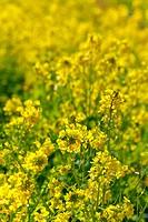 Field mustard field