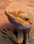 Bearded Dragon Pogona barbata from central Australian desert