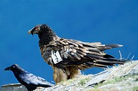 Young lammergeier Gypaetus barbatus or bearded vulture of three years old, a female called Paola with wingmark in Ordesa y Monte Perdido National Park...