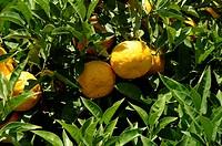 Limonen an einem Baum