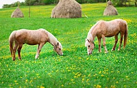 Two horses graze in a meadow with haystacks