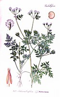 Chervil Anthriscus cerefolium, used in food as herb. From Flora of Germany, Austria and Switzerland 1905, O. W. Thomé.