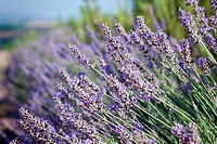 Close_up of lavender in a field with shallow depth of field