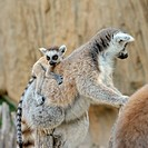 Madagascar´s ring_tailed lemur with the small cub on a back.