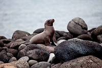 Galapagos sea lion Zalophus wollebacki.