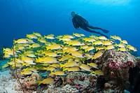 Scuba Diver and Shoal of Bluestripe Snapper, Lutjanus kasmira, North Male Atoll, Maldives