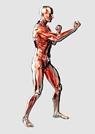 Male anatomical model in fighting stance on white background