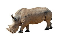 Isolated white rhinoceros