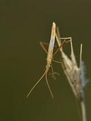 Stilt bug - Berytidae, Crete