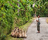 Ducks being herded near Candi Dasa, Eastern Bali, Indonesia