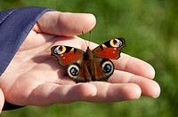 Germany, Bavaria, Human hand holding peacock butterfly