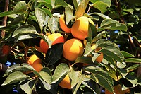 Persimmon fruit ripening on tree branches